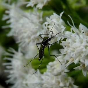 Asian tiger mosquito on flower